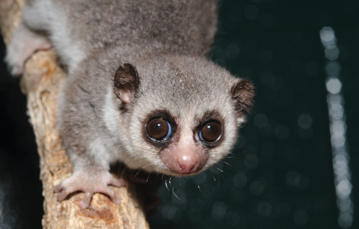 fat-tailed dwarf lemur