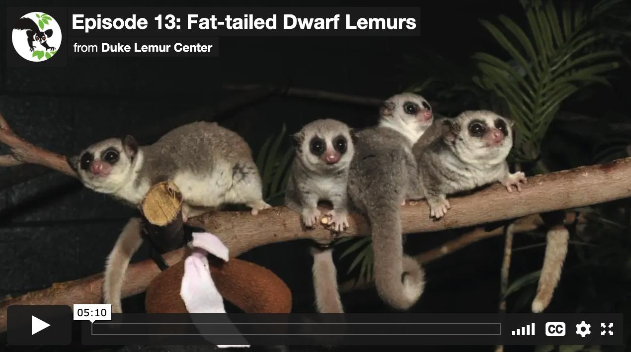 Screenshot of Virtual Tour video showing four fat-tailed dwarf lemurs on a branch