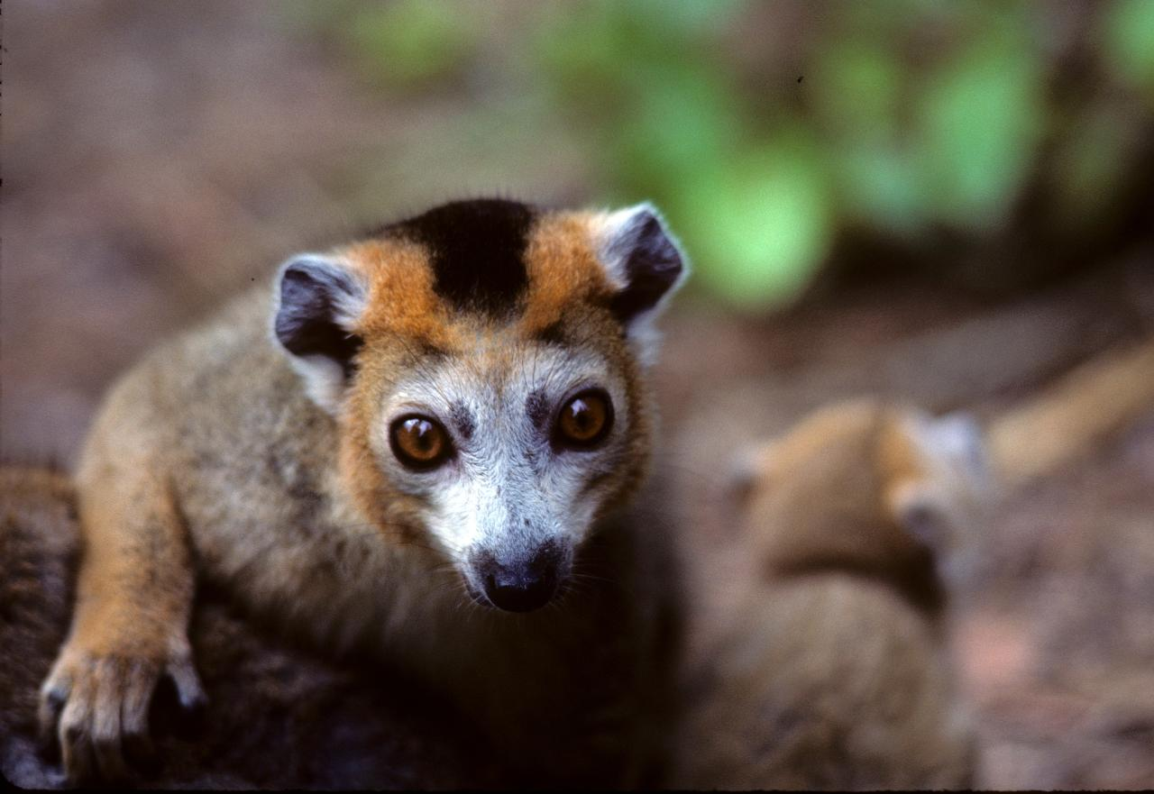 male crowned lemur close up – David Haring