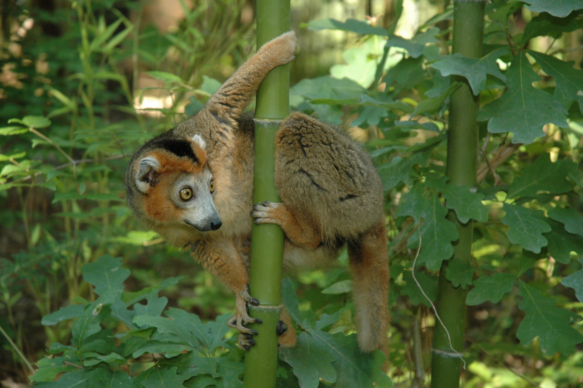 male crowned lemur free-ranging in bamboo – David Haring