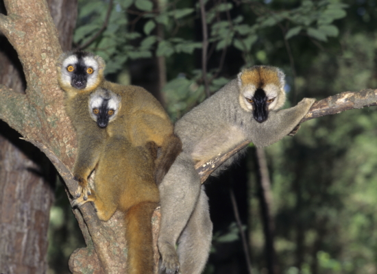 red-fronted lemur family eulemur rufifrons infant