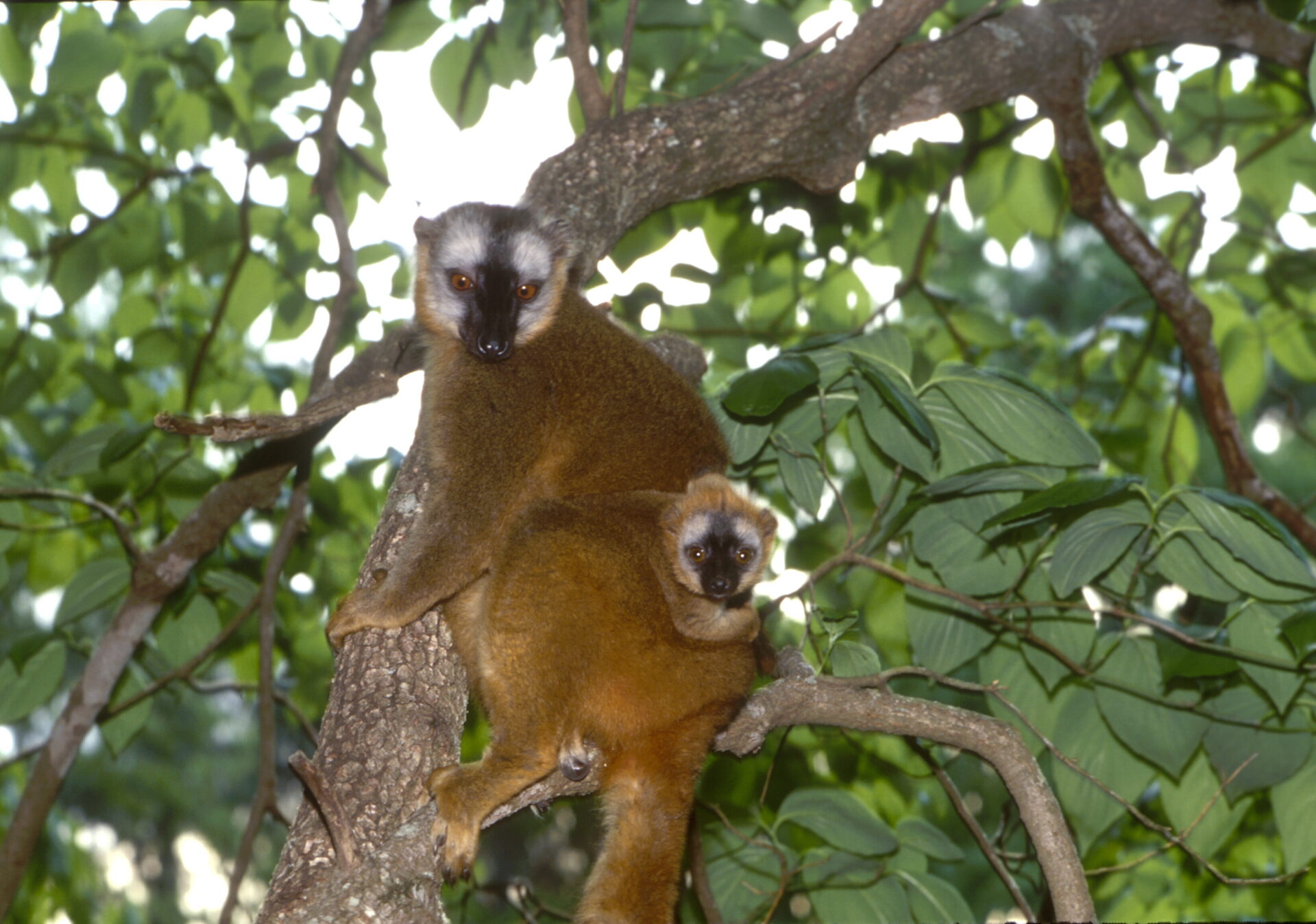 red-fronted lemur female with infant eulemur rufifrons