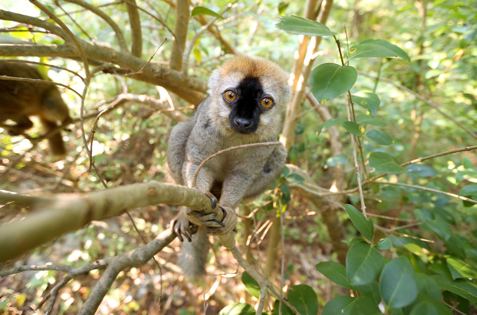 Red fronted lemur Cardinal in NHE 2 – Bob Karp