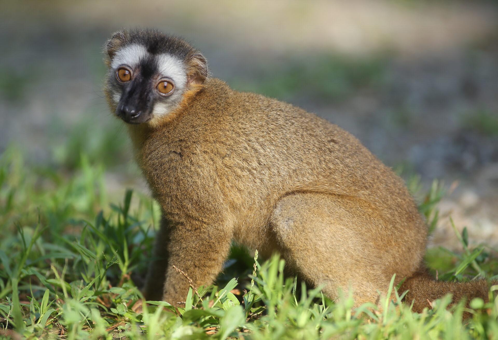 Red fronted lemur Redbay in NHE 2 – Bob Karp 02
