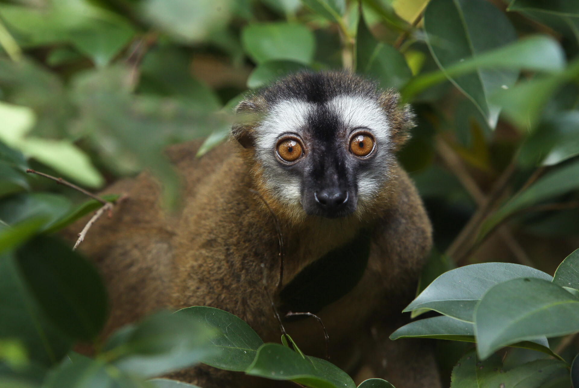 Red fronted lemur Redbay in NHE 2 – Bob Karp