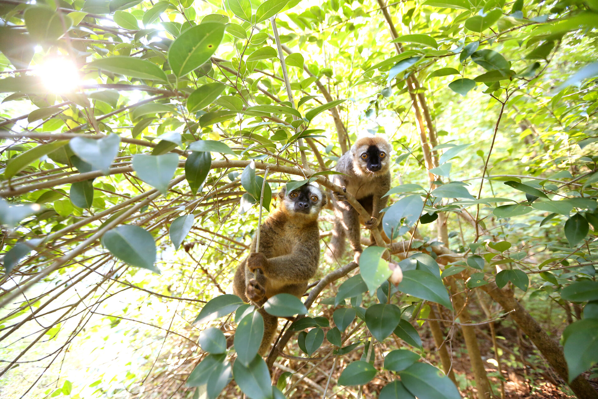 Red fronted lemurs Cardinal and Redbay in NHE 2 – Bob Karp