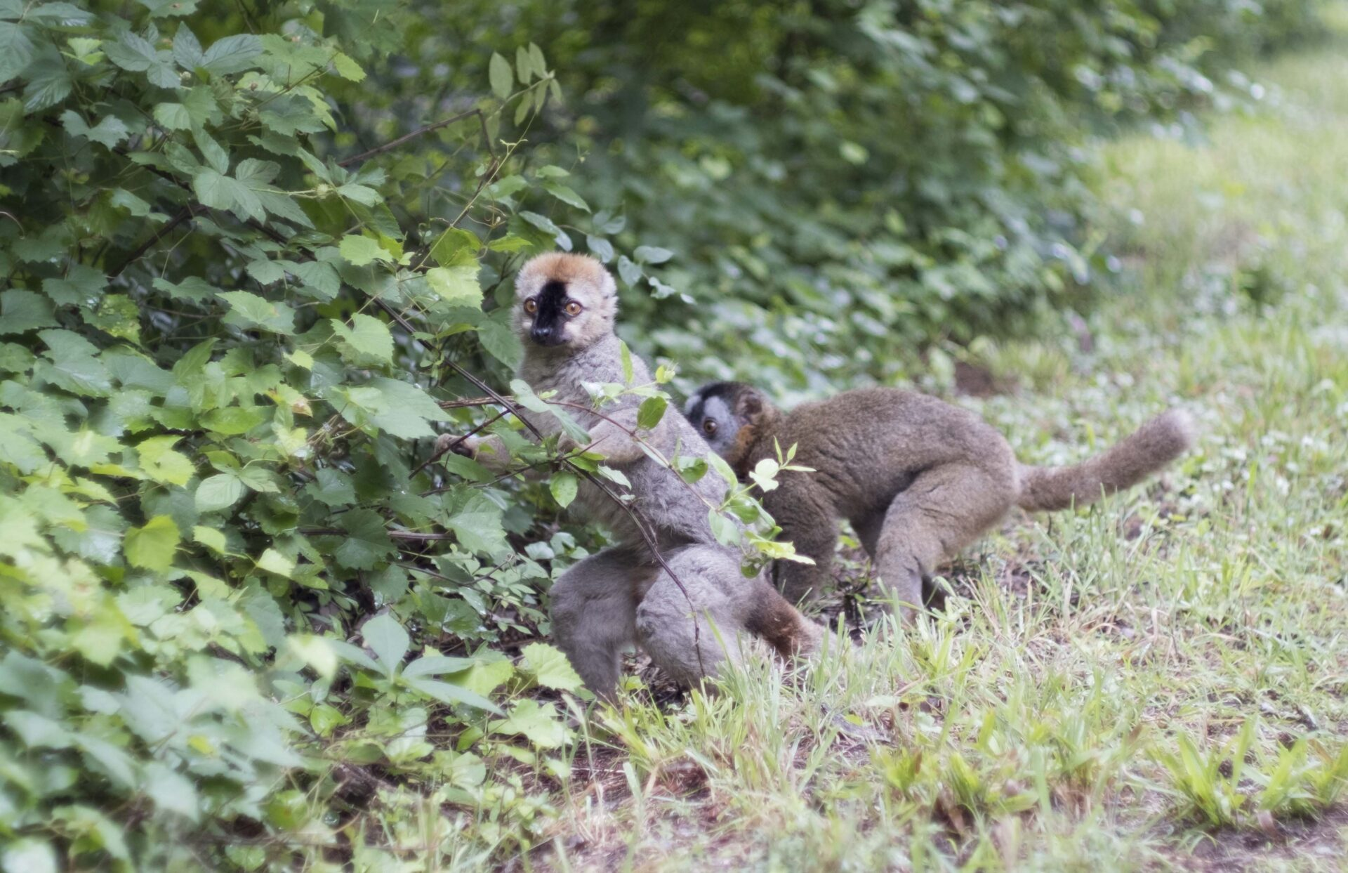red-fronted lemurs sara clark