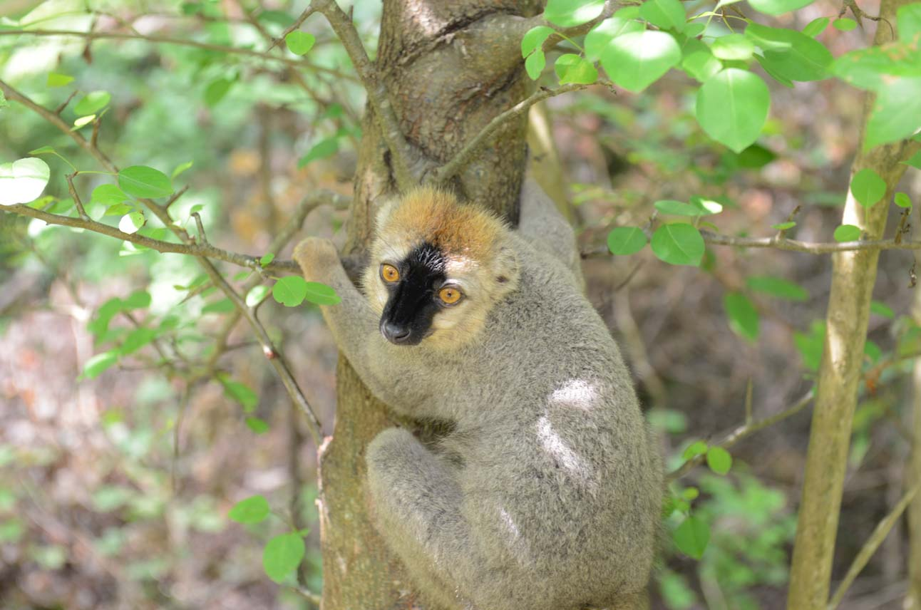 male red fronted lemur