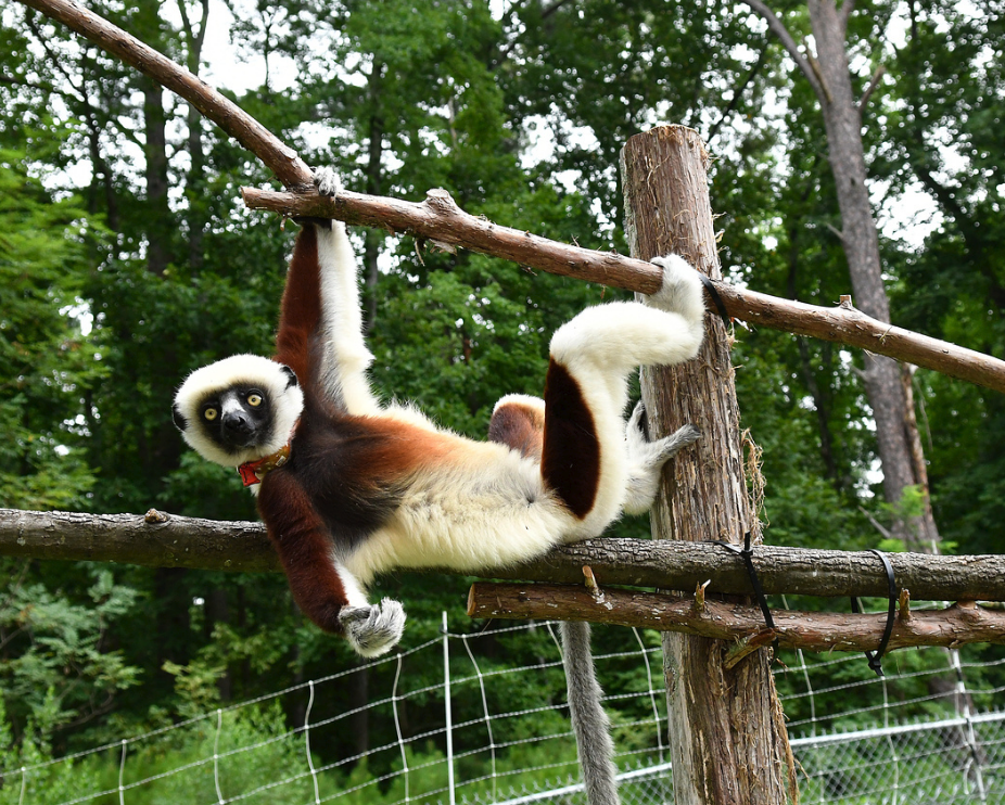 A sifaka hanging from a branch in the forest