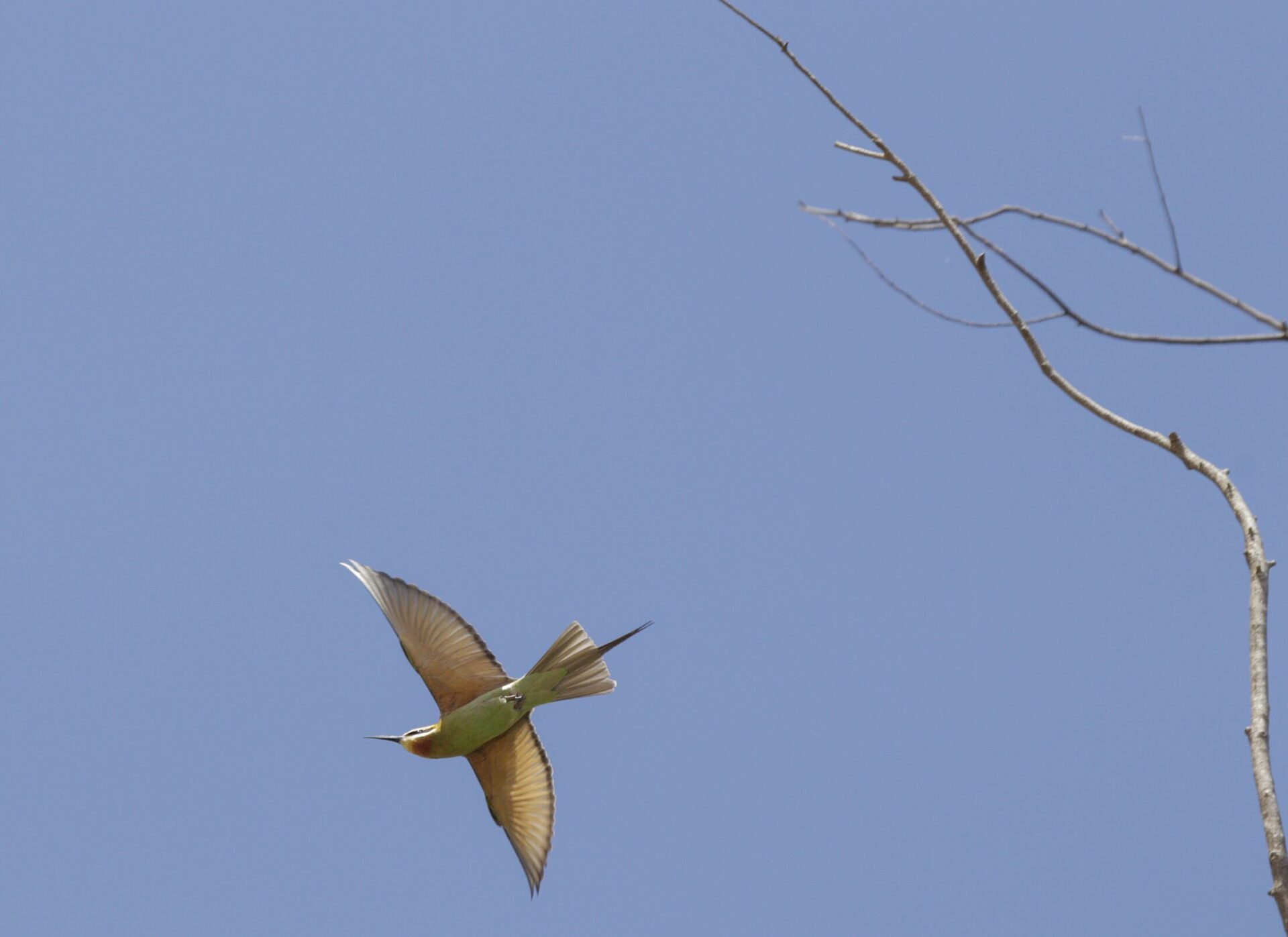 Malagasy Bee Eater – Patrick Madagascar Trip