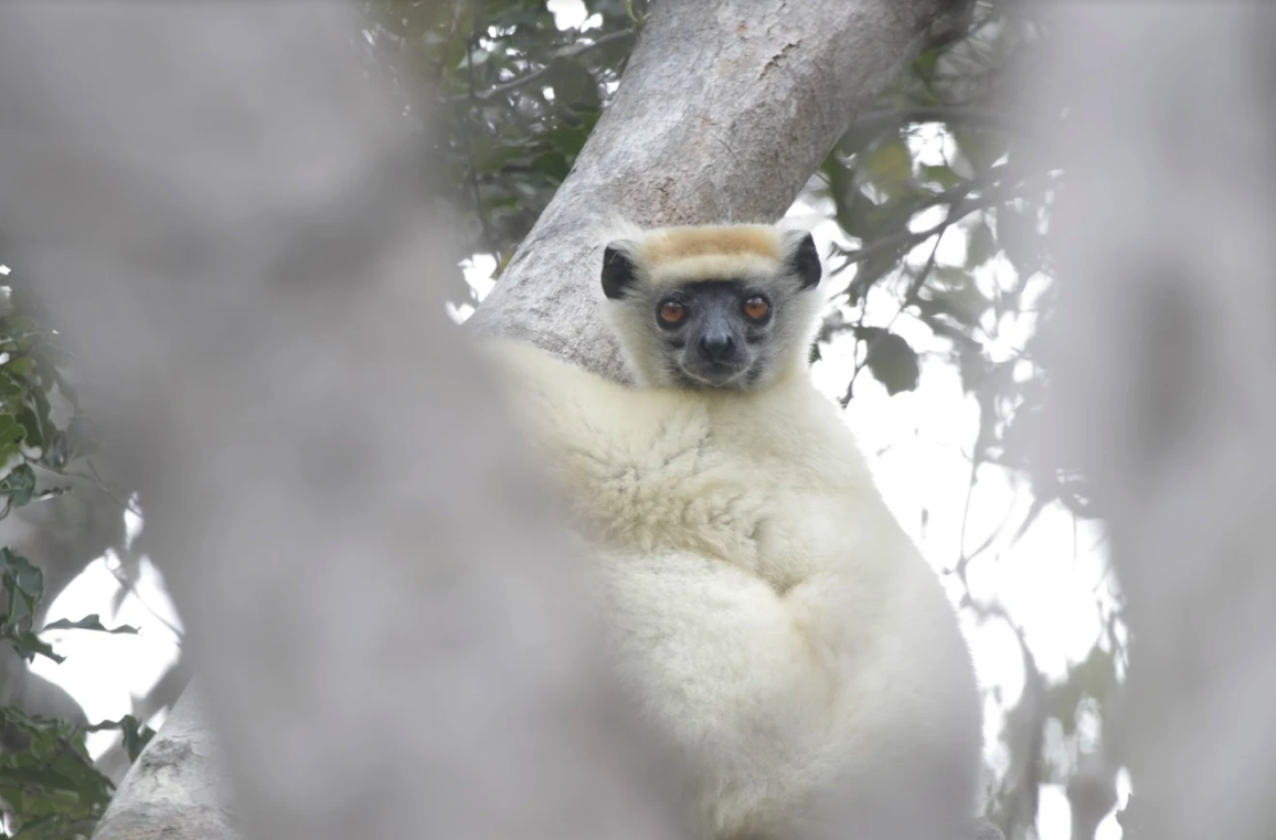 golden crowned sifaka