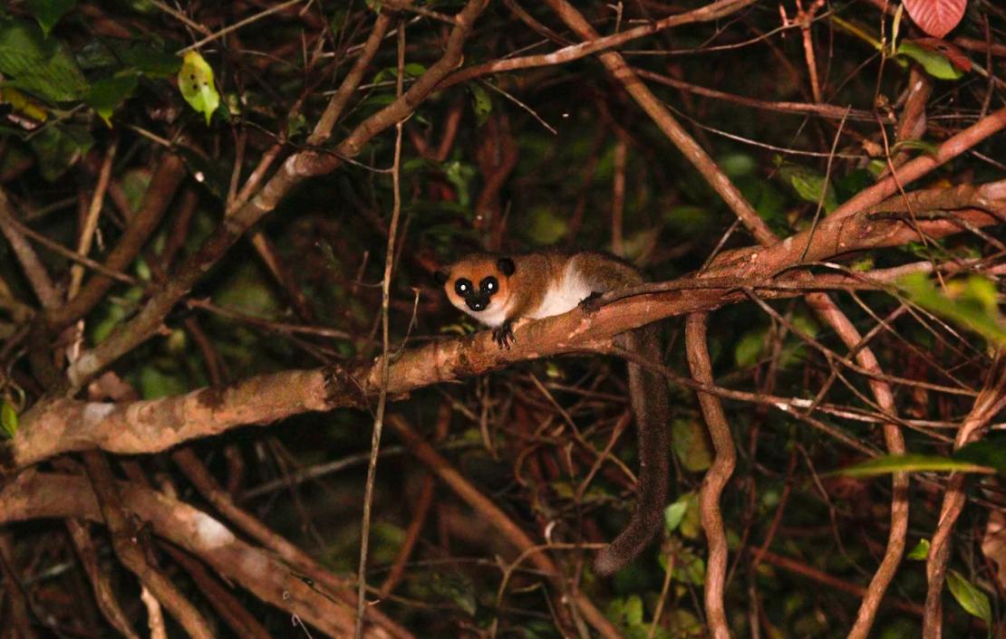 Patrick Ross madagascar lemur