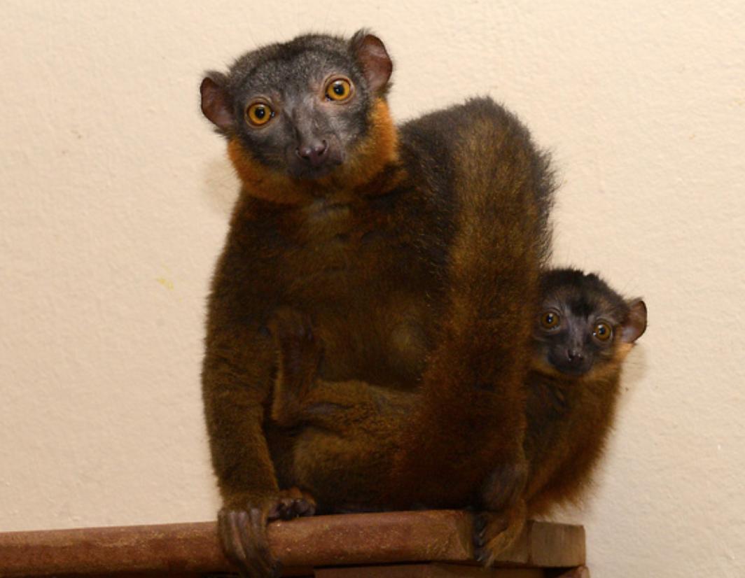 collared lemur