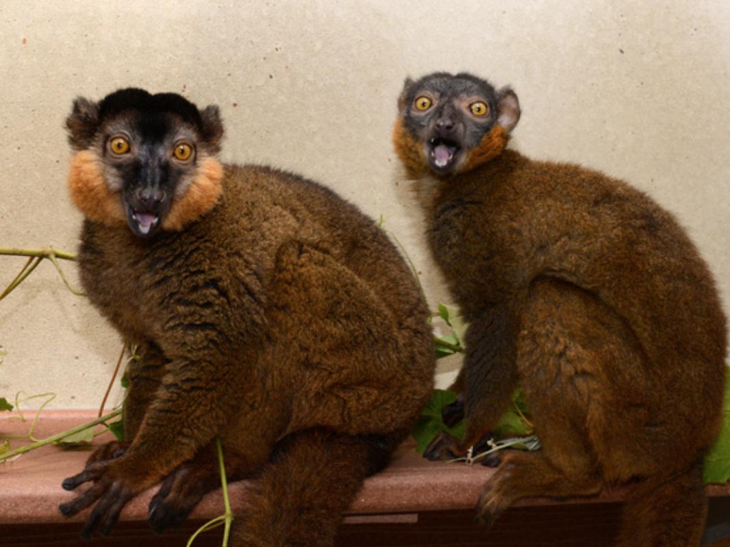 collared lemurs