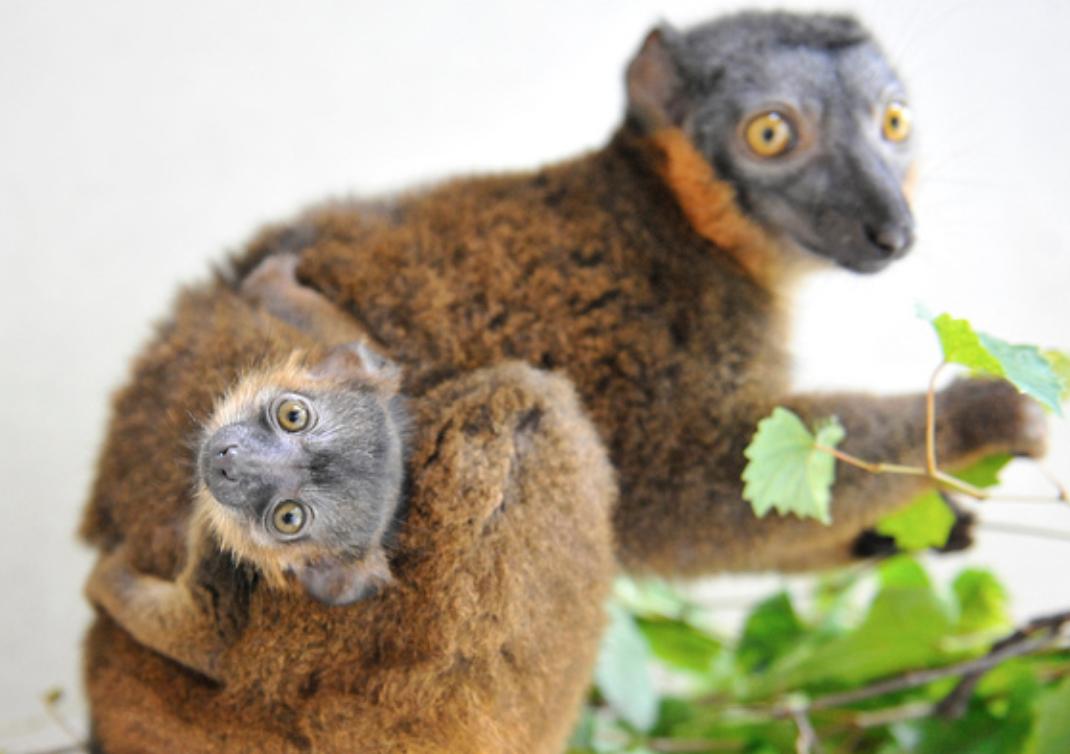 collared lemurs eating