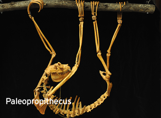 Paleopropithecus extinct lemur sifaka relative