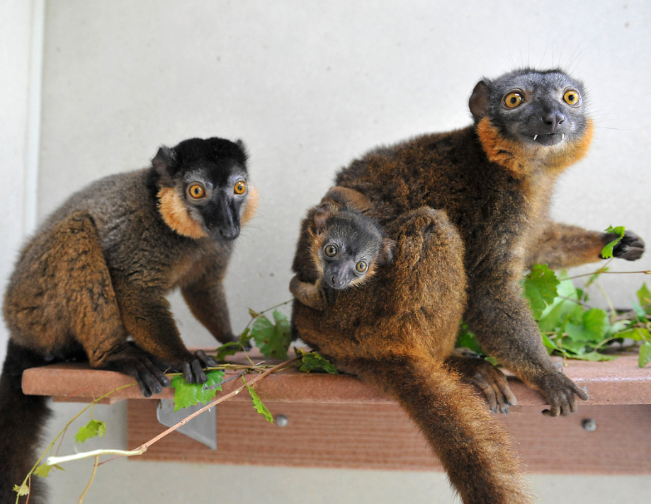 collared lemur adults and infant