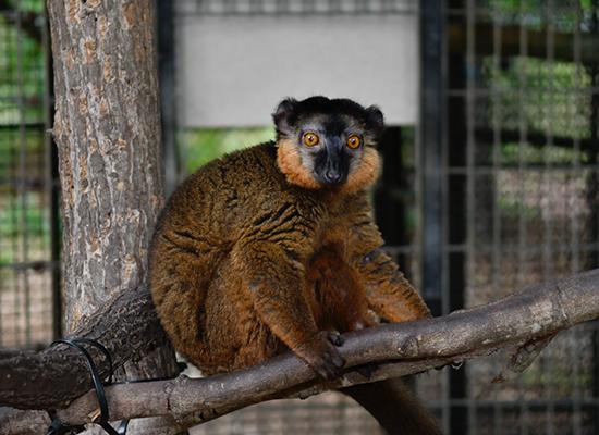 collared lemur dozier in silo enclosure