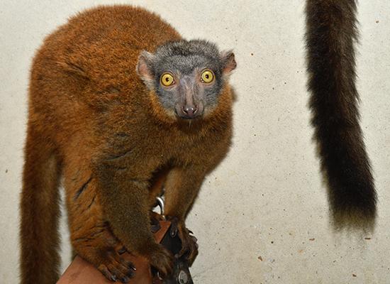 collared lemur female bijou looking at camera