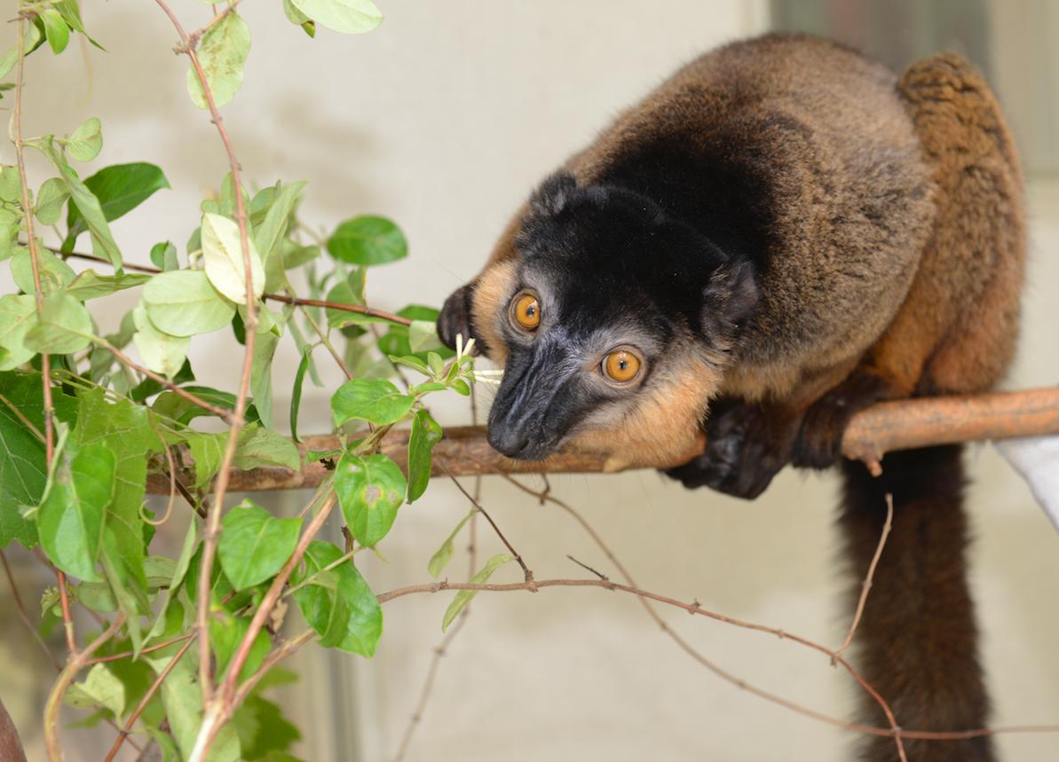 collared lemur juvenile dozier