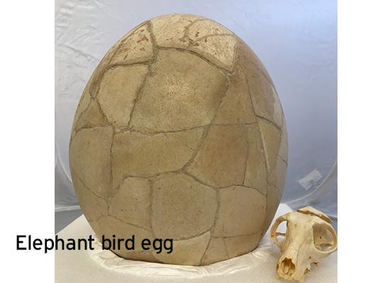 elephant bird egg for slider FINAL