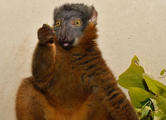 female collared lemur bijou eating leaves 2