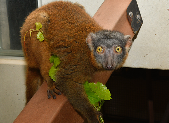 female collared lemur bijou eating leaves 3