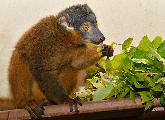 female collared lemur bijou eating leaves