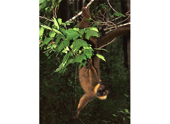 male collared lemur dangling in forest