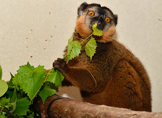 male collared lemur eating leaves