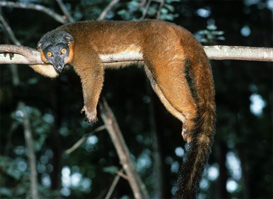 vintage photo collared lemur dangling