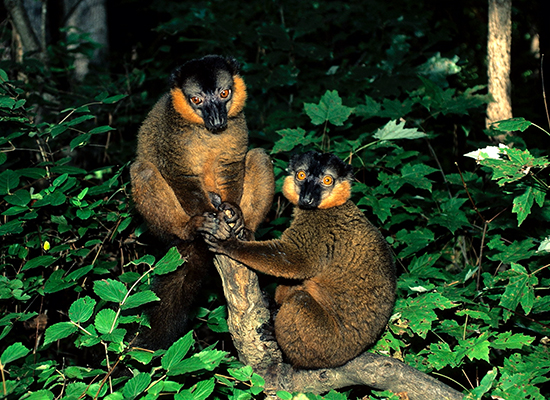 vintage photo collared lemur males in forest