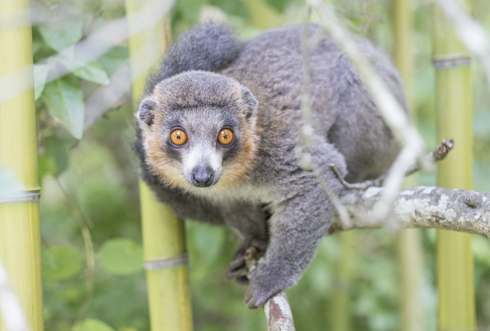 Male mongoose lemur looking directly at the camera against a background of bamboo. Photo by Sara Clark.