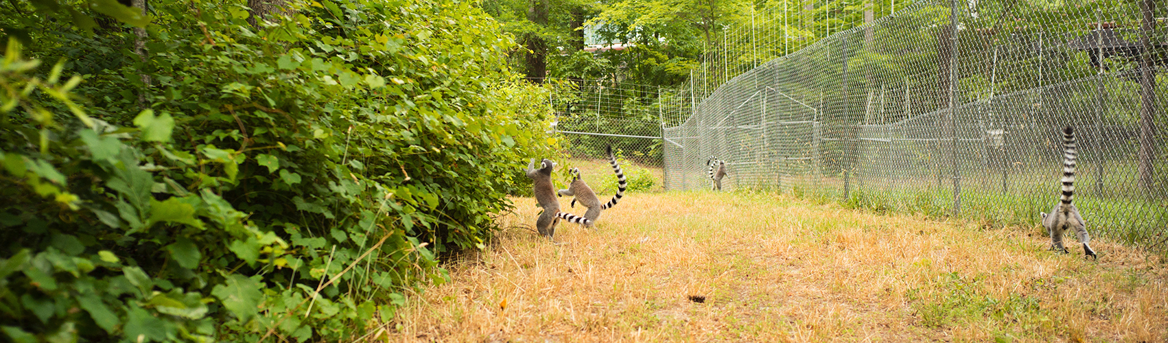 ring-tailed lemurs feeding in trees