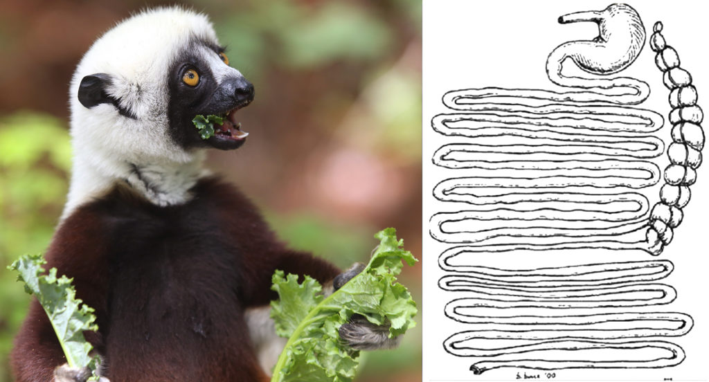 Image of sifaka eating kale and a diagram of sifaka digestive system.