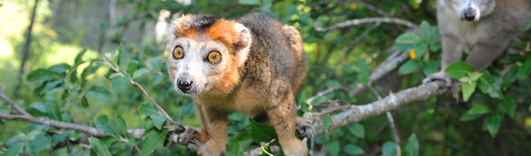 Pet Lemurs The Pet To Regret Duke Lemur Center