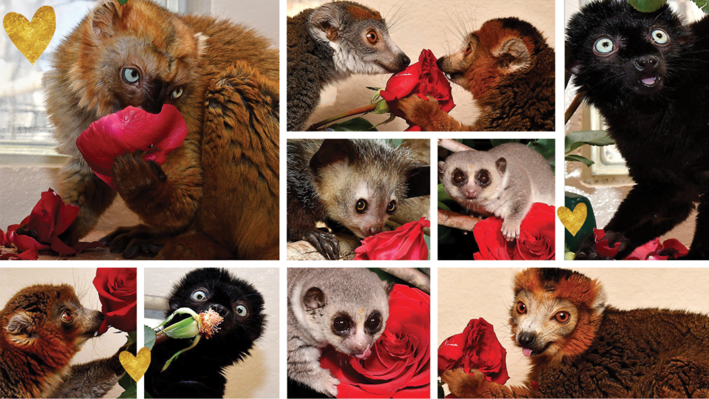 Collage of lemurs eating roses