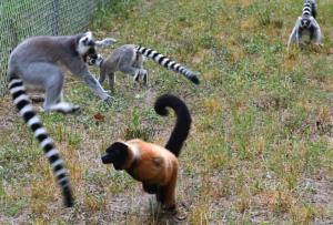 aggressive behavior - ring-tailed lemurs fighting