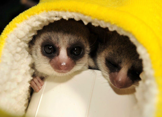 Two dwarf lemurs snuggled in a yellow fleece nesting pouch donated from the DLC's wishlist
