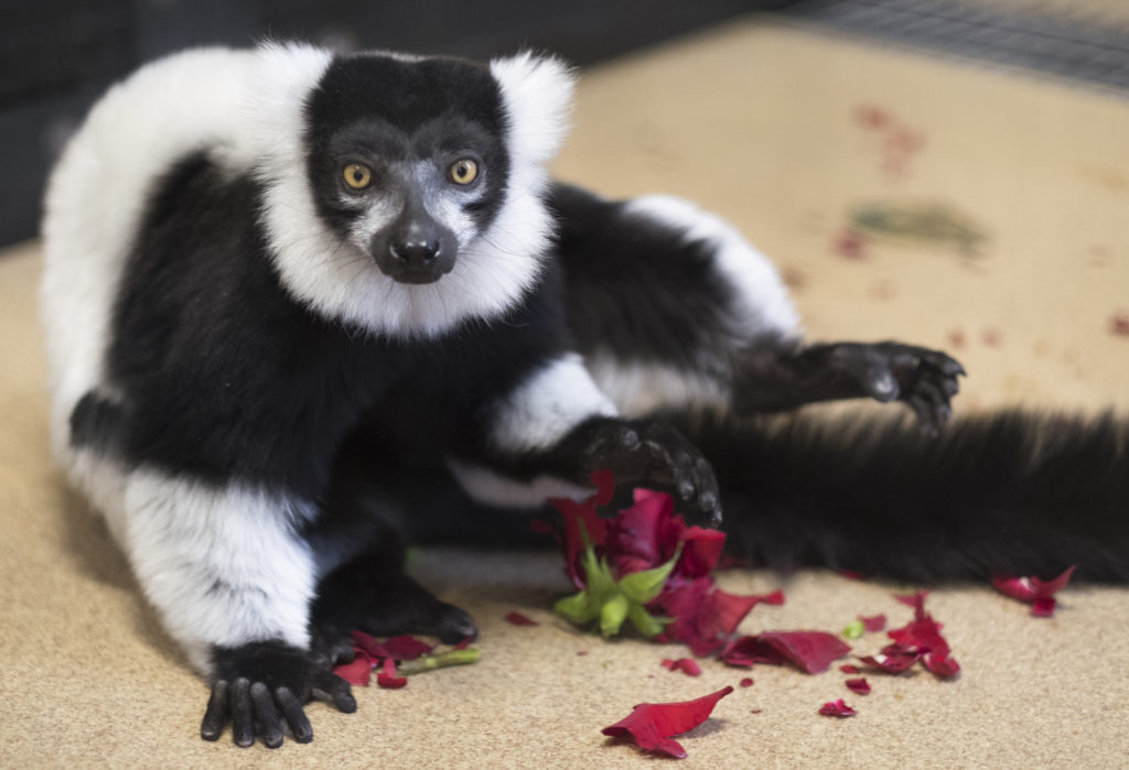 Ruffed lemur Halley sitting on a demolished rose
