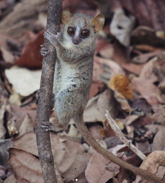 Wild mouse lemur clinging to a tree branch