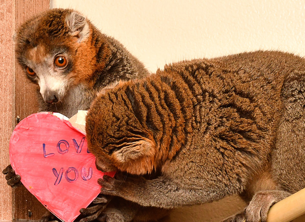 Mongoose lemur brothers Mico and Ignacio with heart-shaped enrichment toy