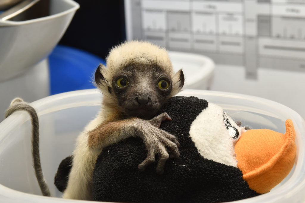 Infant sifaka being weighed