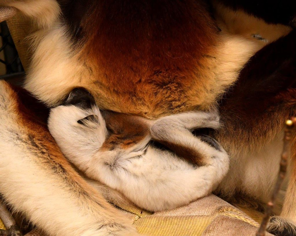 Infant sifaka sleeping in mother's lap