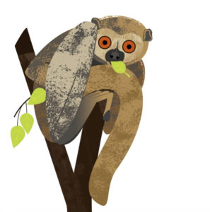 Illustration of a woolly lemur eating a leaf