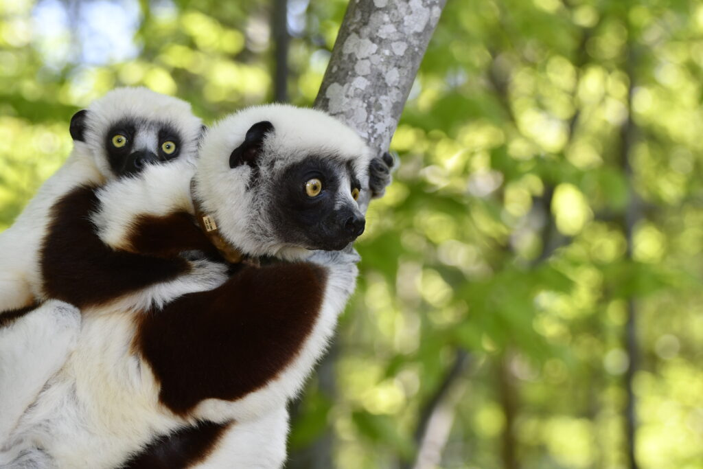Mother sifaka with infant clinging to her back