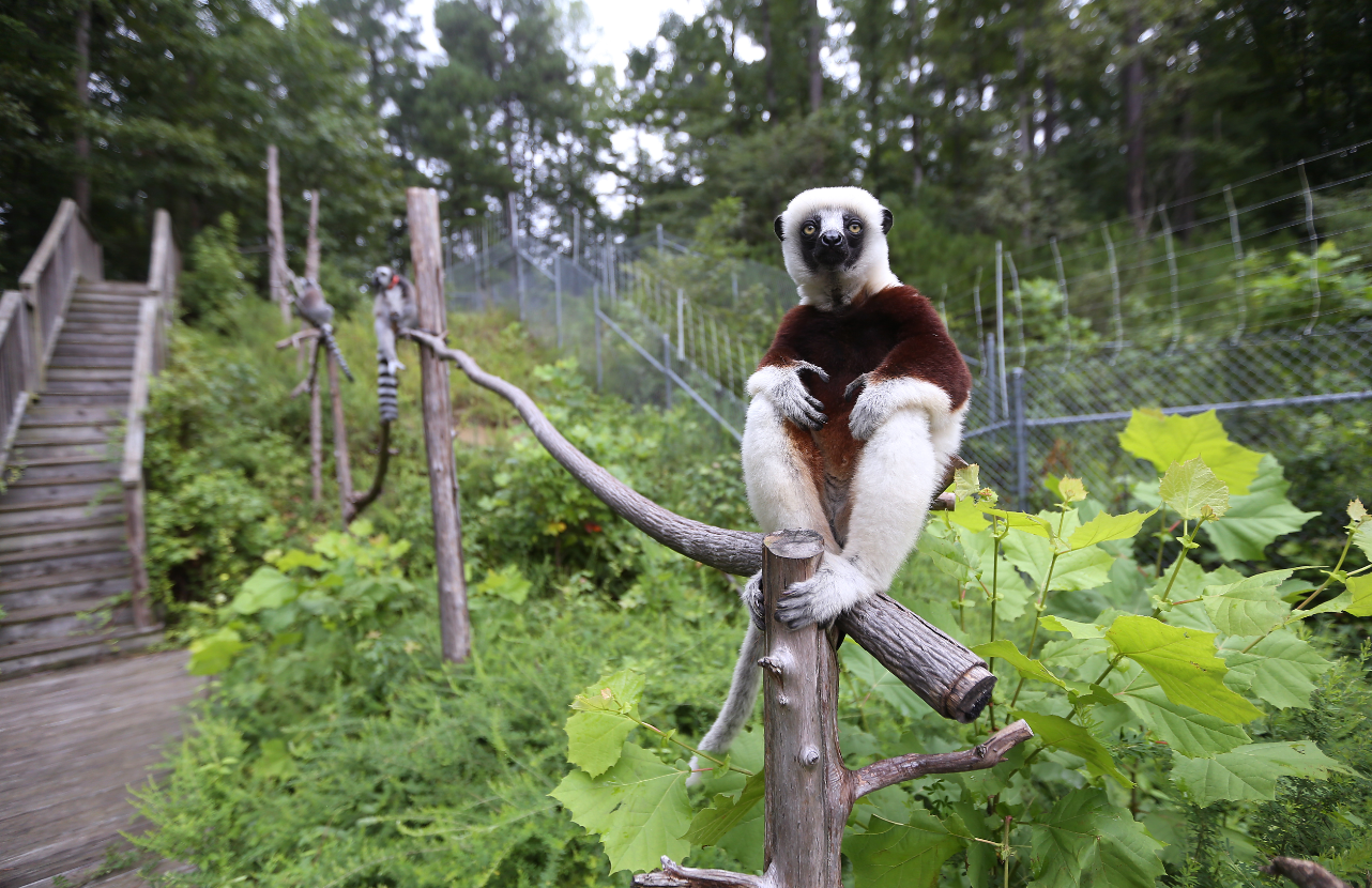 Three lemurs sit on a wooden walkway above green bushes