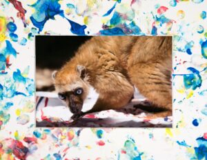 a painted white matte surrounds a photo of an orange lemur with blue eyes