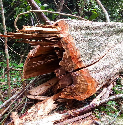 Ragged stump of a large rosewood tree that has been cut down