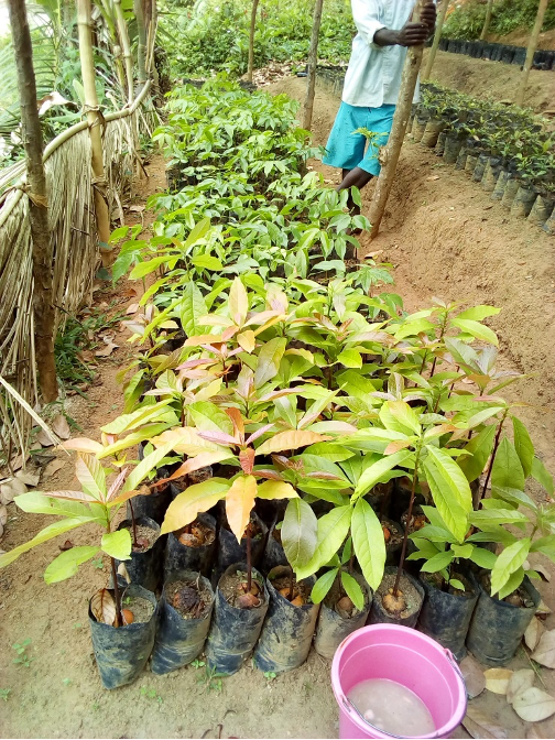 Young avocado plants in a plant nursery